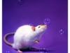 Rat_10