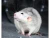 Rat_14