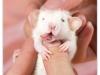 Rat_20