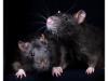 Rat_22