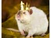 Rat_29
