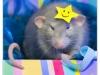 Rat_31
