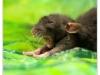 Rat_4